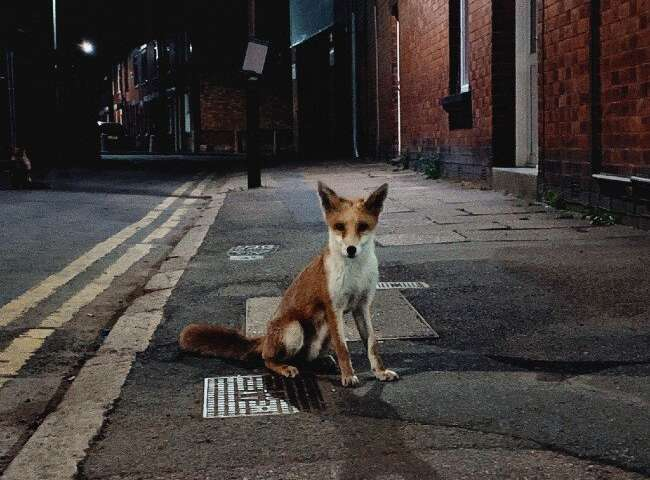 City foxes are becoming more similar to domesticated dogs as they adapt to their environment
