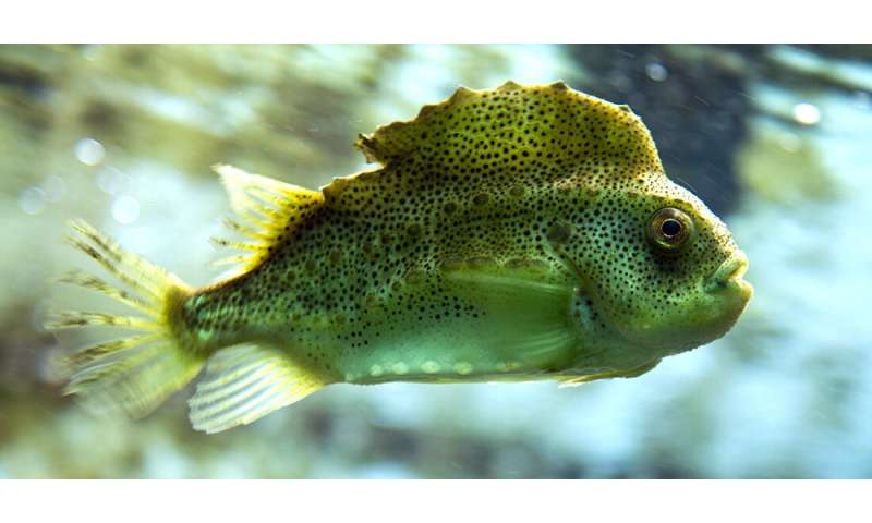 Cleaner fish being sacrificed in the fight against salmon lice