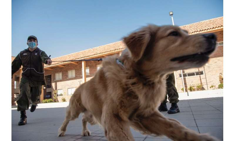 Clifford is one of three Golden Retrievers that the Chilean Police Canine Training team is preparing to sniff out COVID-19 cases
