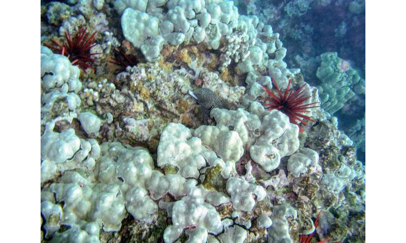 Coastal pollution reduces genetic diversity of corals, reef resilience