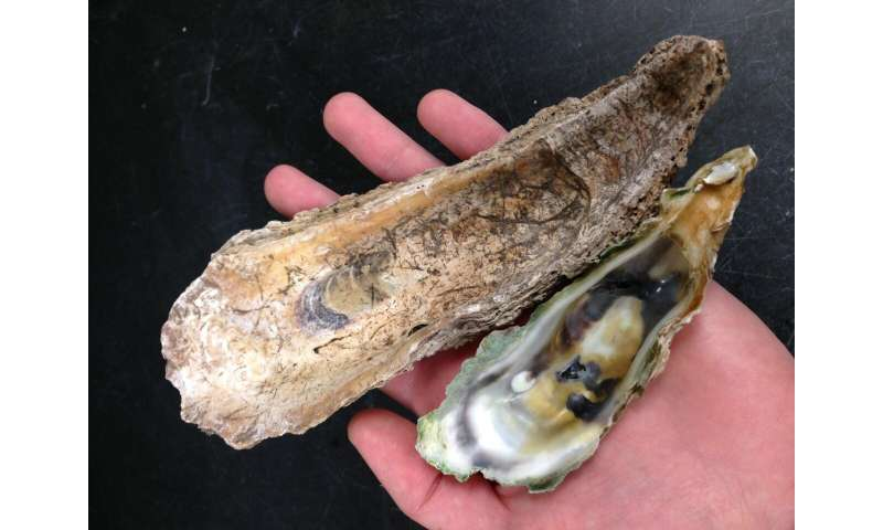 Colossal oysters have disappeared from Florida's 'most pristine' coastlines