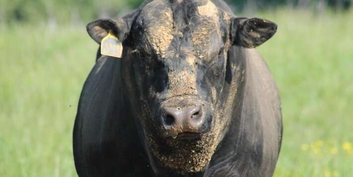 Common feed ingredient tested safe in bulls