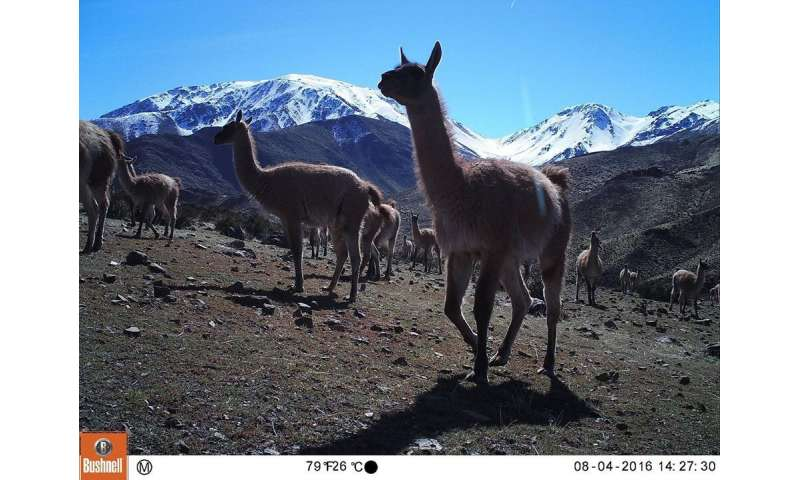 Conflict between ranchers and wildlife intensifies as climate change worsens in Chile