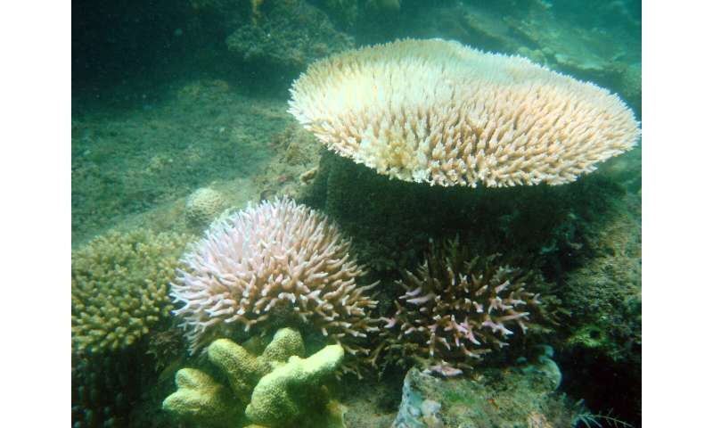 Corals in murky water less affected by temperature stress, research finds