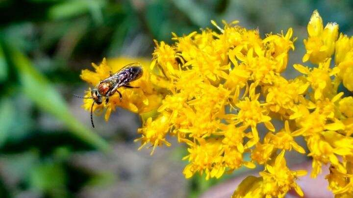 Cornell research traces how farmlands affect bee disease spread
