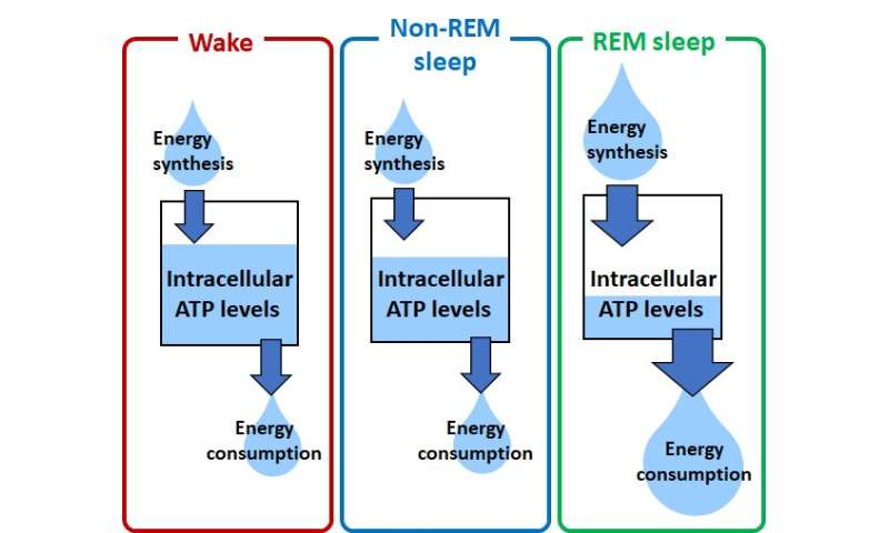 Cortex-wide variation of neuronal cellular energy levels depending on the sleep-wake states
