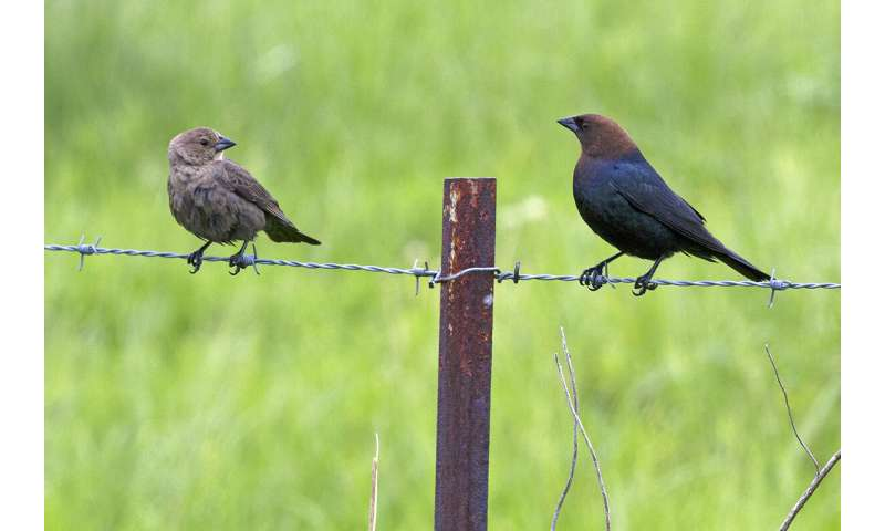 Cowbirds change their eggs' sex ratio based on breeding time