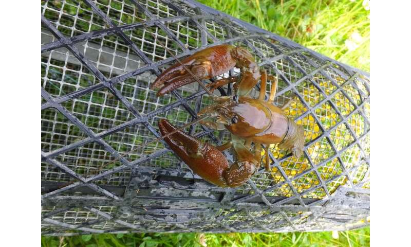 Crayfish 'trapping' fails to control invasive species