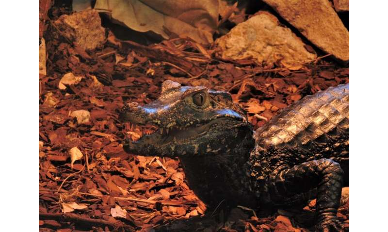 Crocs' better parenting skills could make them more resilient to climate change