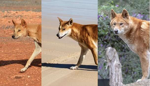 Cross-country dingoes have differently shaped heads