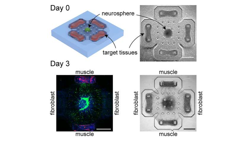 Crosstalk captured between muscles, neural networks in biohybrid machines