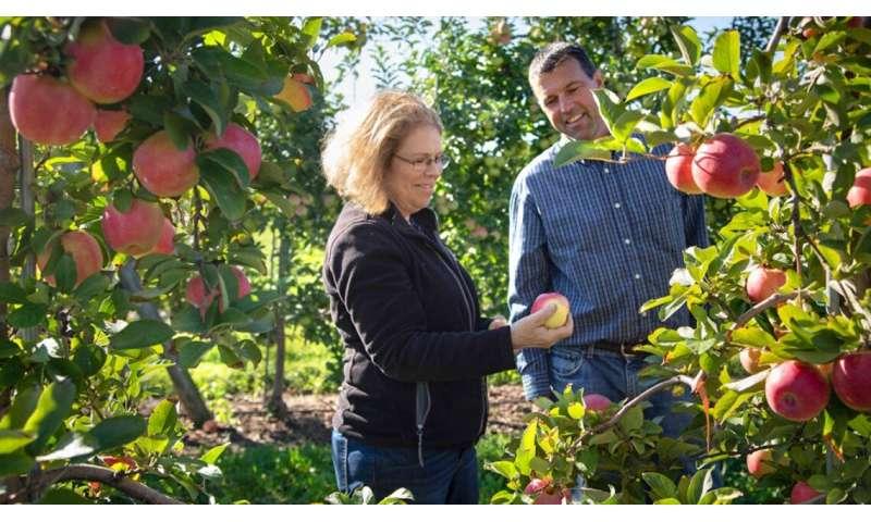 'Crujiente, complejo': tres nuevas manzanas lanzadas