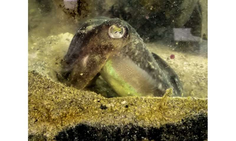 Cuttlefish eat less for lunch when they know there'll be shrimp for dinner