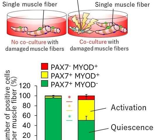 Damaged muscles don't just die, they regenerate themselves