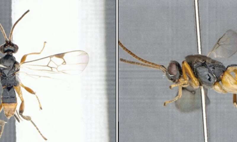 Death from below: the first video of a parasitic wasp attacking caterpillar underwater
