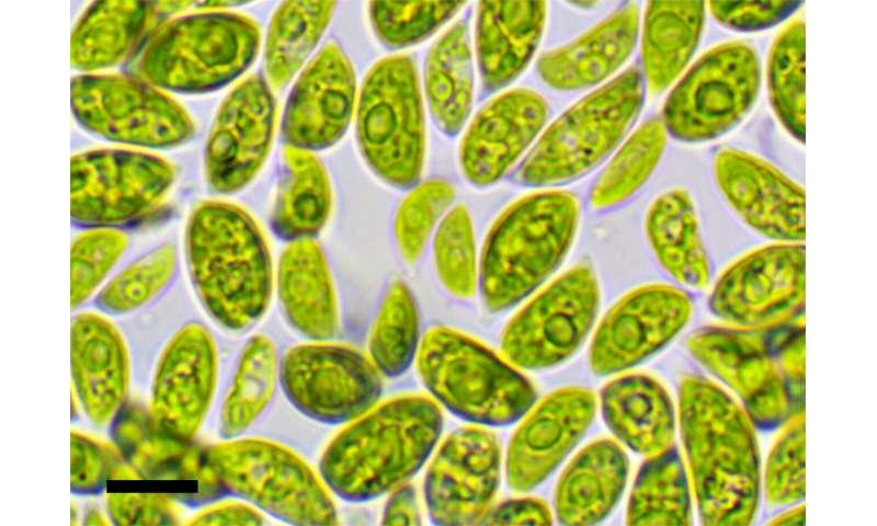 Desert algae shed light on desiccation tolerance in green plants