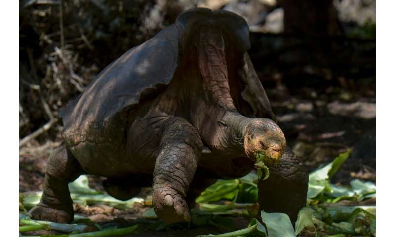 Species Saving Galapagos Giant Tortoise Diego Can Take A Rest