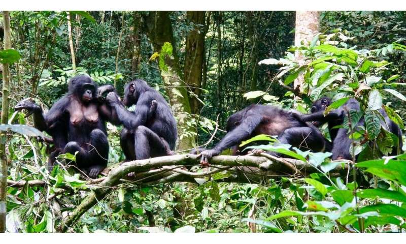Differing diets of bonobo groups may offer insights into how culture is created