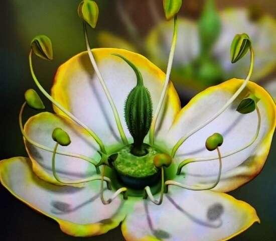 Dinganthus arroja nueva luz sobre la evolución de las flores