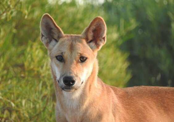 Dingoes have gotten bigger over the last 80 years – and pesticides might be to blame