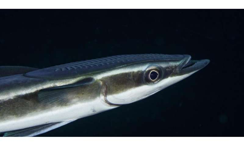 Discovery reveals how remora fishes know when to hitch a ride aboard their hosts