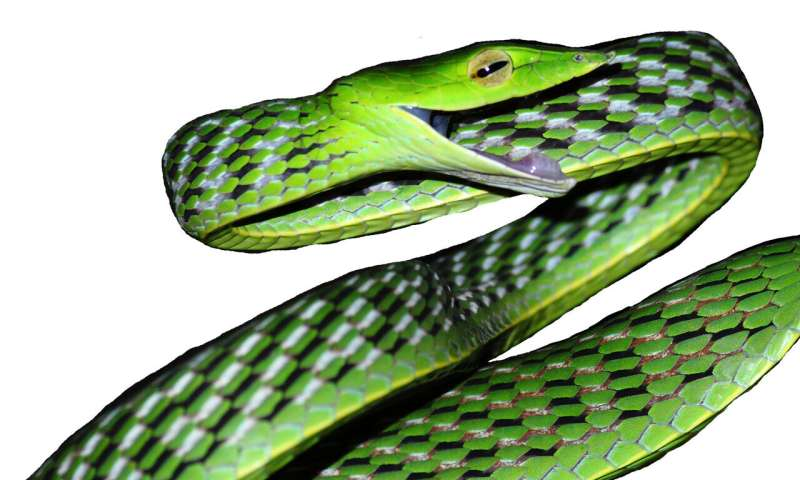 'Disentangling vines' – the discovery of five new species of vine snakes in India