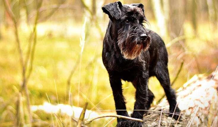 Disturbed retinal gene function underlying canine blindness