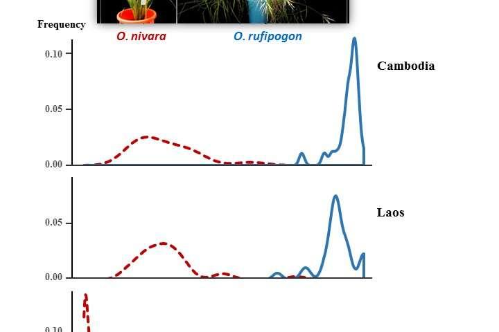 La divergencia en el tiempo de floración contribuye al aislamiento reproductivo entre las especies de arroz silvestre.