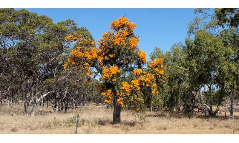 DNA shows southwestern Australia's largest parasitic plant adapts to climate