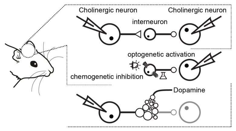 Dopamine regulates synchronicity in the activity of striatal neurons