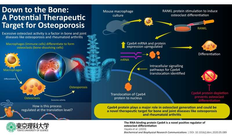 Down to the bone: Understanding how bone-dissolving cells are generated