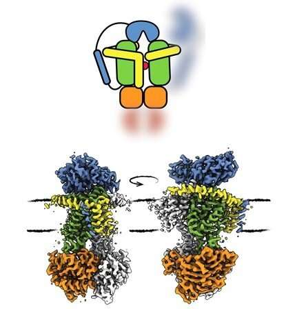 Dual brake on transport protein prevents cells from exploding