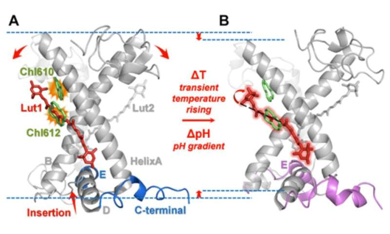 Dynamical and allosteric regulation of photoprotection in light harvesting complex II
