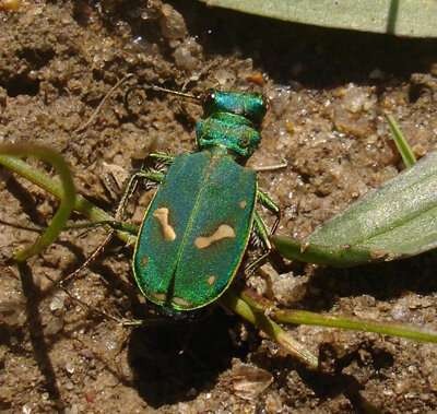 Emerald predators: Ohlone tiger beetles reclaim territory with the help of local scientists