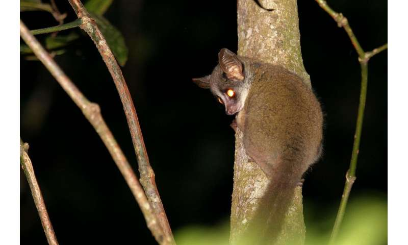 Enigmatic small primate finally caught on film in Taita, Kenya