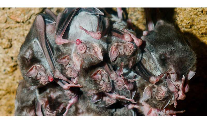 Even fake illness affects relationships among vampire bats