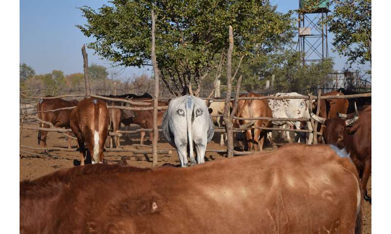 Eye-catching conservation tool protects livestock, lions and livelihoods