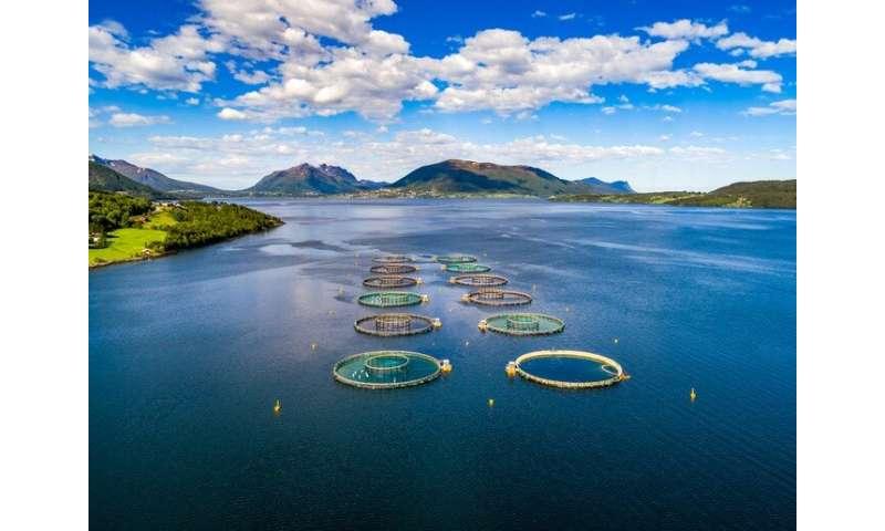 Rising sea temperatures could threaten Atlantic salmon production
