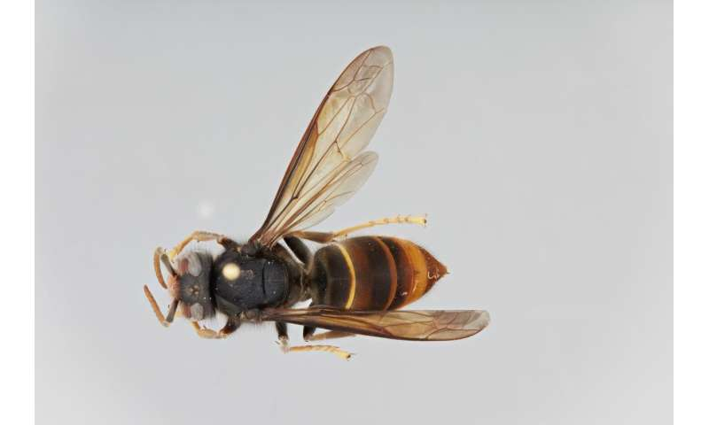Faster than a speeding bullet: Asian hornet invasion spreads to Northern Germany