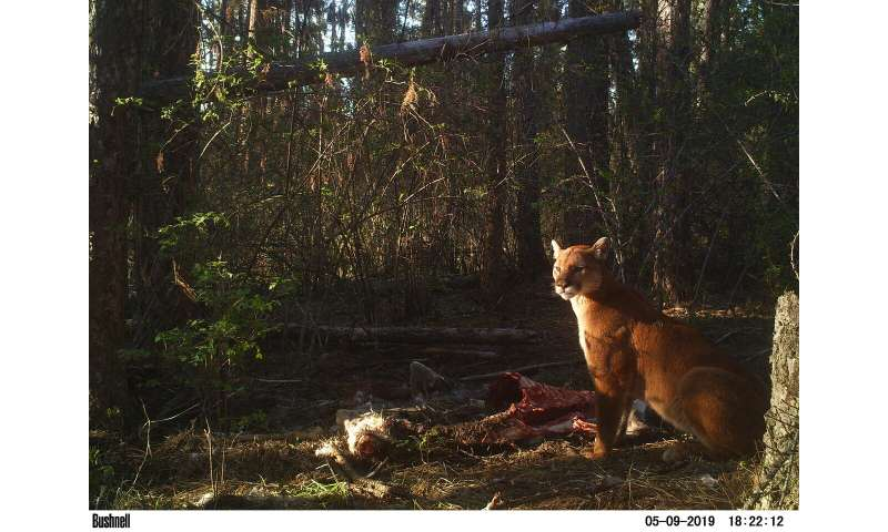'Fatal attraction': Small carnivores drawn to kill sites, then ambushed by larger kin