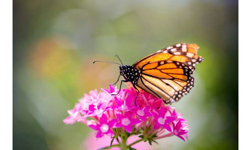 Findings refute idea of monarchs' migration mortality as major cause of population decline
