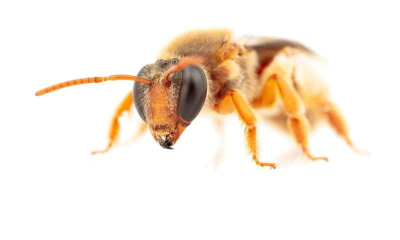 Primeras abejas nocturnas australianas registradas buscando comida en la oscuridad