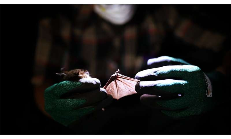 First relatives of rubella virus discovered in bats in Uganda and mice in Germany