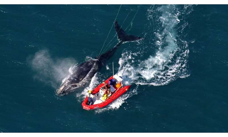 Fishing less could be a win for both lobstermen and endangered whales