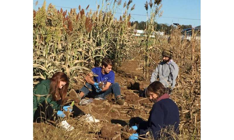 Flavonoids' presence in sorghum roots may lead to frost-resistant crop
