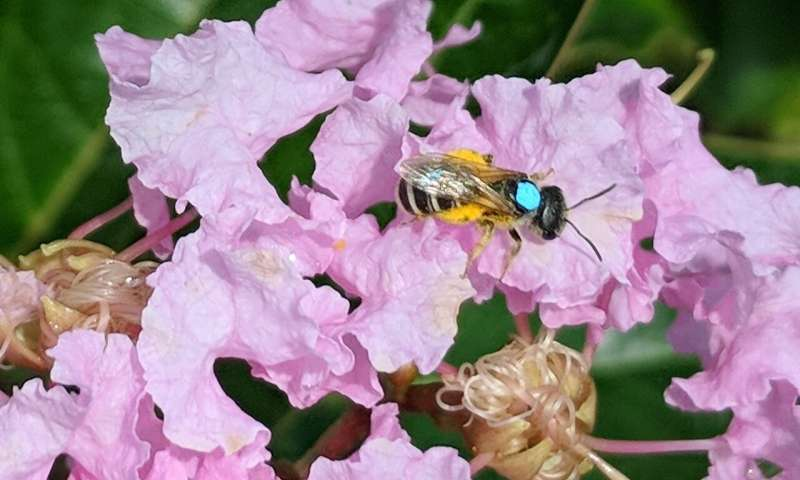 Flower faithful native bee makes a reliable pollinator