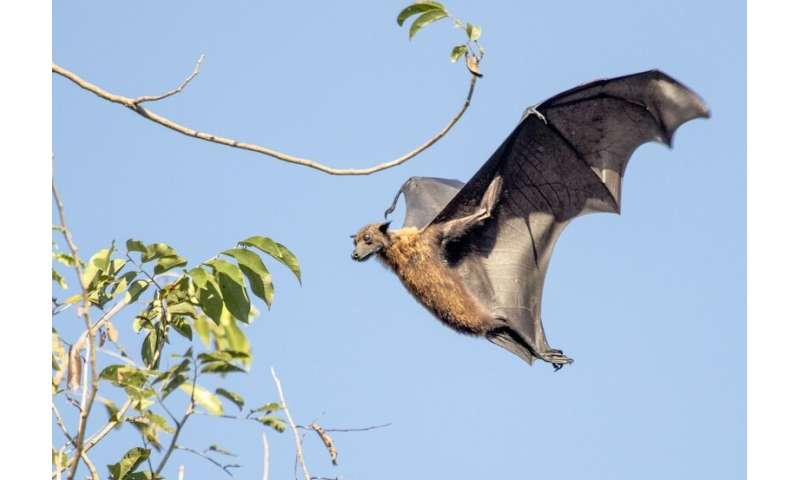 For evolutionary study finds rare bats in decline, CCNY research