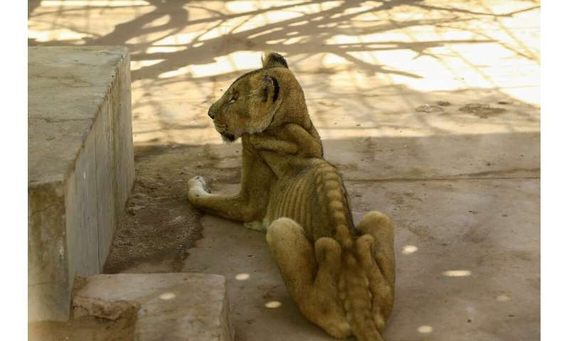 For weeks now, five lions held at Khartoum's Al-Qureshi Park in an upscale district of the capital have been suffering from shor