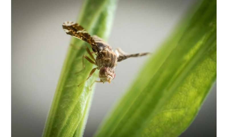"""Gall fly outmaneuvers host plant in game of """"Spy vs. Spy"""""""