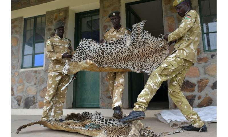 Game wardens with leopard skins, confiscated from bush hunters in surrounding rural communities who poach for subsistence and tr